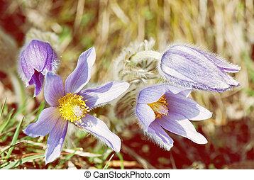 Pulsatilla slavica flower, yellow photo filter - Pulsatilla...