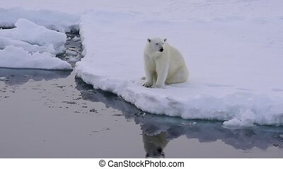 Polar bear on the ice - Polar bear sits on the edge of ice...