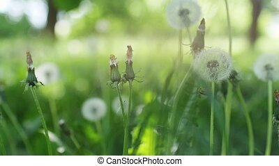 Heads of dandelion flower slightly moved by the wind, beautiful sunlight flares and round bokeh playing in background in slow motion. 1920x1080