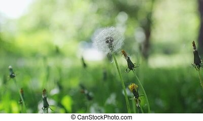Heads of dandelion flower slightly moved by the wind, sunlight flares and round bokeh playing in beautiful background in slow motion. 1920x1080