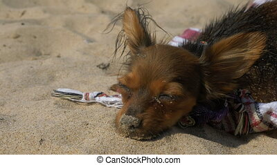 Toy Terrier swims in the sand after swimming. He does this...