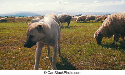 Dog Shepherd Grazing Sheep in the Field - Sheepdog Guarding...