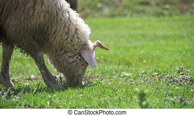 Sheep Grazing and Eat Grass on Meadow. Animals Walk on...