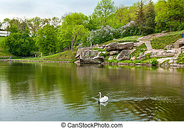 Beautiful swan on the lake in Sofiyivsky Park in Uman,...