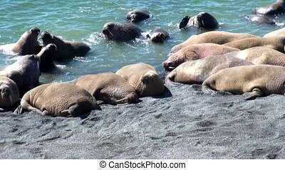 Group of walruses rest on shores of Arctic Ocean on New...