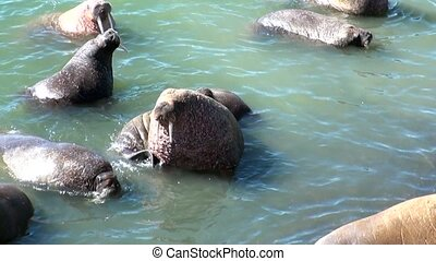 Group of walruses rest in water of Arctic Ocean on New Earth...