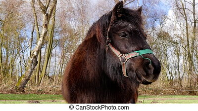 Shetland pony closeup spring - Dark brown shetland pony...