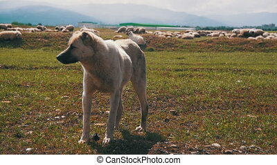 Dog Shepherd Grazing Sheep in the Field. Slow Motion -...