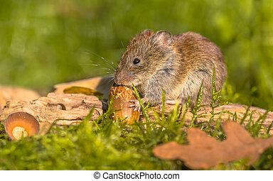 Bank vole eating acorn - Wild Bank vole (Myodes glareolus)...