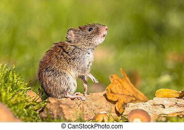 Bank vole posing autumn scene - Wild Bank vole (Myodes...