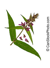 Pressed and dried flower stachys officinalis or betonica...