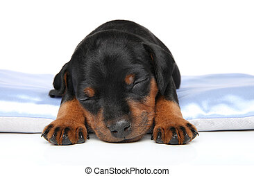 Cute puppy sleeping on sofa. Close-up portrait on a white...