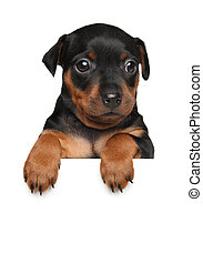 Miniature Pinscher puppy above banner isolated on white...