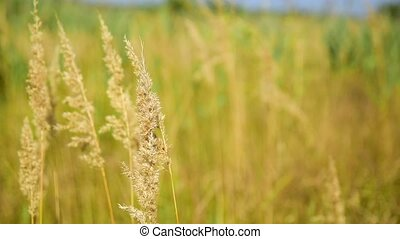 branch of reeds against the background of nature, summer day