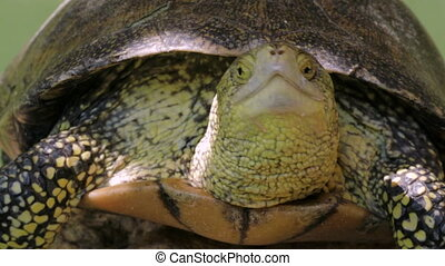 Close Up Of Turtle Head, Sun Resting - Frontal View Of Big...