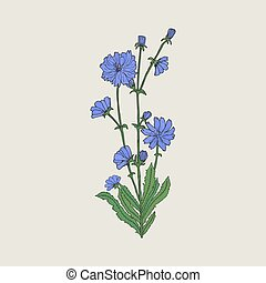 Detailed realistic drawing of chicory with flowers and...