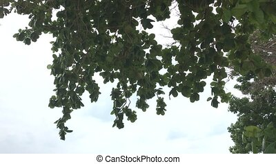 Leaves and branches sway in a light breeze - Leaves and...