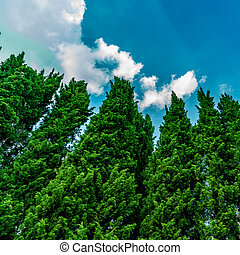 Pine trees with blue sky