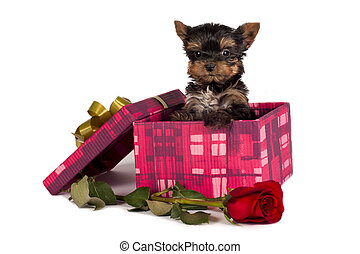 Yorkshire terrier puppy - Cute Yorkshire terrier puppy in a...