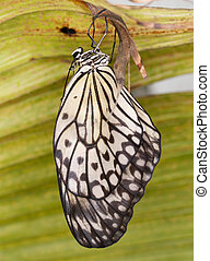 The paper Kite butterfly hatching from pupa - Idea leuconoe