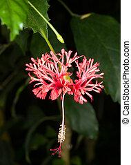African spider hibiscus