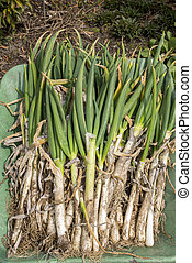 Welsh onions - Harvested lot of welsh onions on the...
