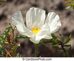Desert Flower - White Flower in Desert
