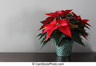 Poinsettia with Copy-space - A poinsetta plant sitting a...