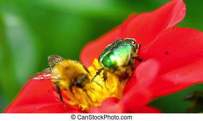Cetonia Aurata and bumblebee on the Red Dahlia flower -...