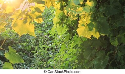 Evening sunlight illuminates the leaves of the grapes. -...