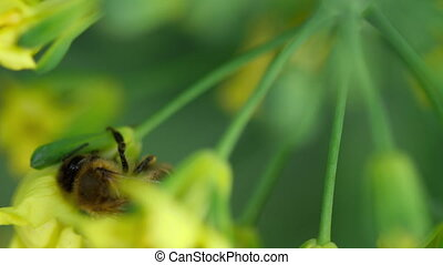 Bee on a flower of Brassica oleracea - Bee collects nectar...