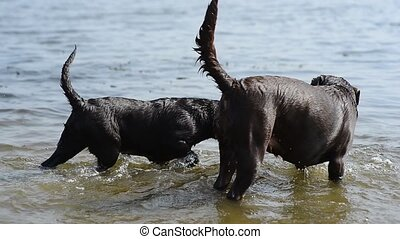 two cheerful brown labradors play in water. summer day