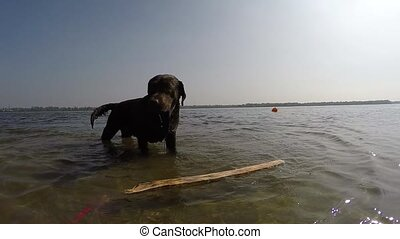 cheerful brown labrador play in water. summer day. slow...