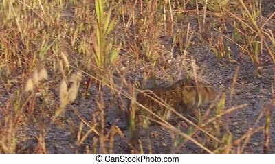 harvest mouse. field mouse runs through the grass in the field slow motion video nature