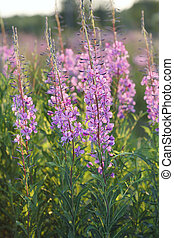 Fireweed flowers in evening light