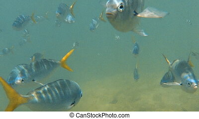Groups of yellowfin fish underwater and seabed - A medium...
