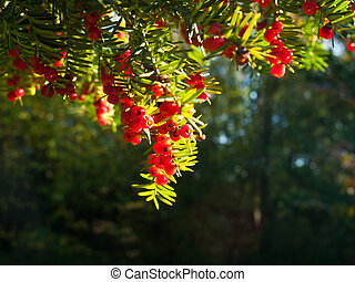 Common yew - Red yew berries in the morning sun rays