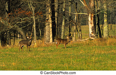 Whitetail Bucks - two big whittail bucks in a green field