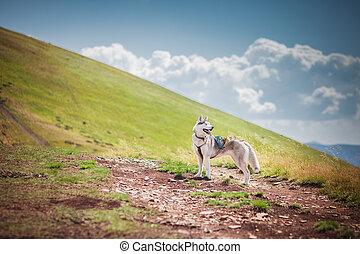 Dog on the mountain pass summer sun nature