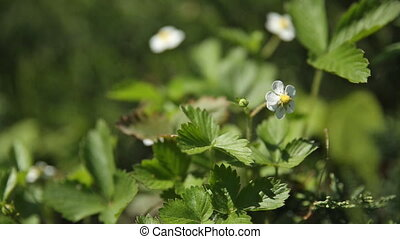 Wild strawberry Fragaria flowers on flower bed at sunlight....