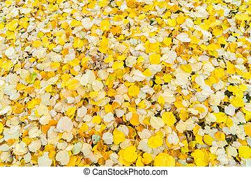 hojas, árbol, aliso, plano de fondo, otoño