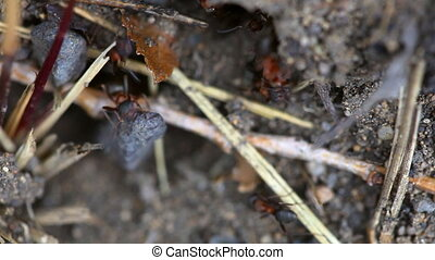 Ants nest. Macro. - Clear the nest ants working, close-up