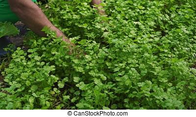 Green Coriander Plantation - Farmer working on the coriander...