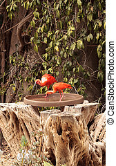 Pink scarlet ibis Eudocimus ruber by a tropical pond