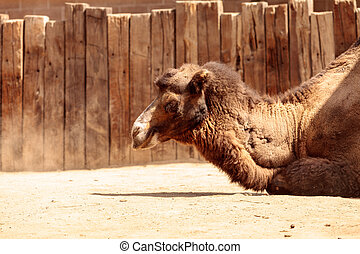 Bactrian camel Camelus bactrianus has two humps and can go...
