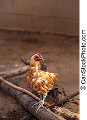 Buff colored Cochin chicken scratches the ground and pecks...