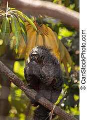 Female white-faced saki sits in a cage in captivity