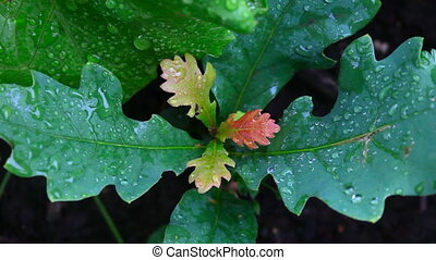 After rain. - Young oak leaves after a rain.