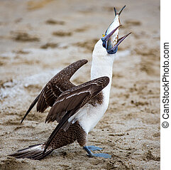 Blue footed booby stealing fish from fishermen