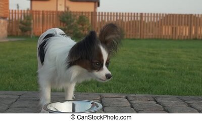 Papillon Continental Toy Spaniel puppy eats dry food on...
